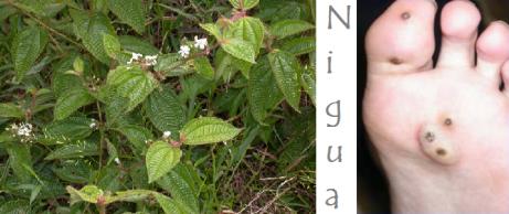 Nigua